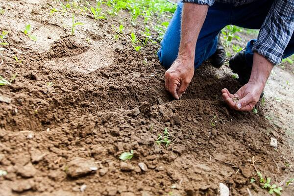 senior citizen planting seeds in dirt outside grass rolled up sleeves